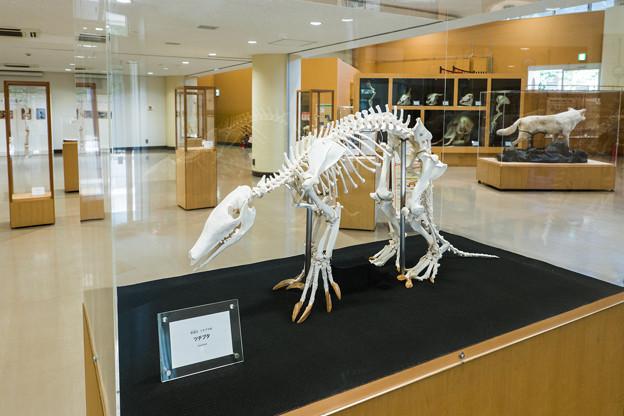 ツチブタの骨格標本
