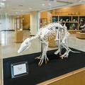 Photos: ツチブタの骨格標本