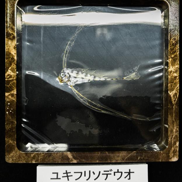 Photos: ユキフリソデウオの干物標本