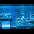 Photos: サンゴ礁の再生~恩納村の海から~