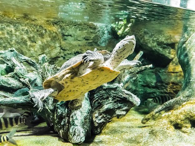 ヒラリーカエルガメ