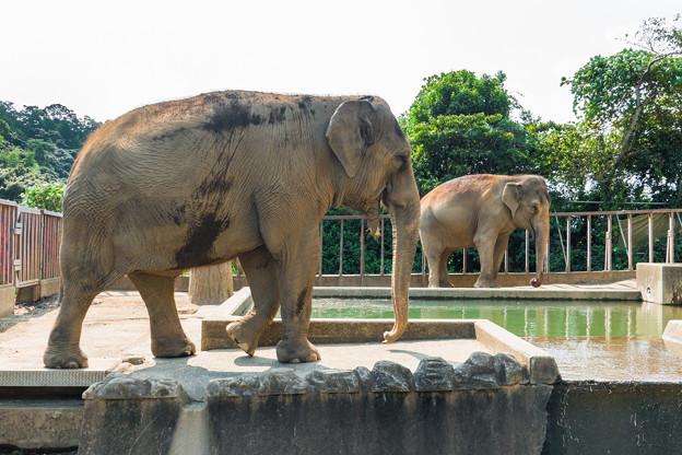 アジアゾウのダンボとシャンティ