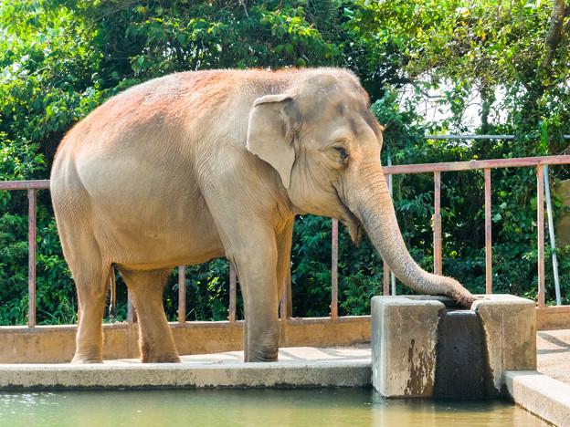 アジアゾウのシャンティ