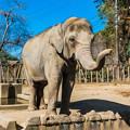 アジアゾウのダンボ