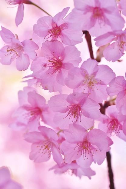 Photos: 鎌倉の河津桜