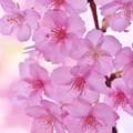 写真: 鎌倉の河津桜