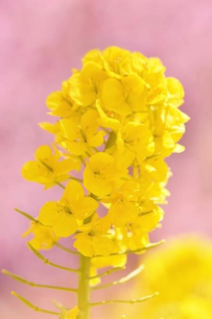 写真: 菜の花と河津桜