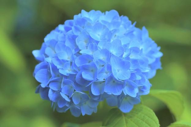 写真: 明月院紫陽花