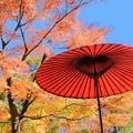 Photos: 和傘と紅葉