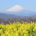 Photos: 菜の花と富士山