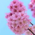 Photos: 熱海桜