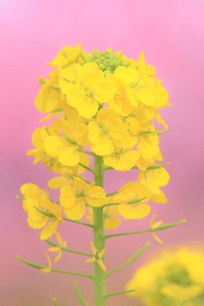 Photos: 菜の花と河津桜