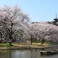 Photos: 横浜三渓園桜