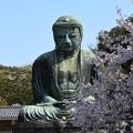 Photos: 鎌倉大仏様と桜
