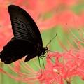 彼岸花と黒アゲハ