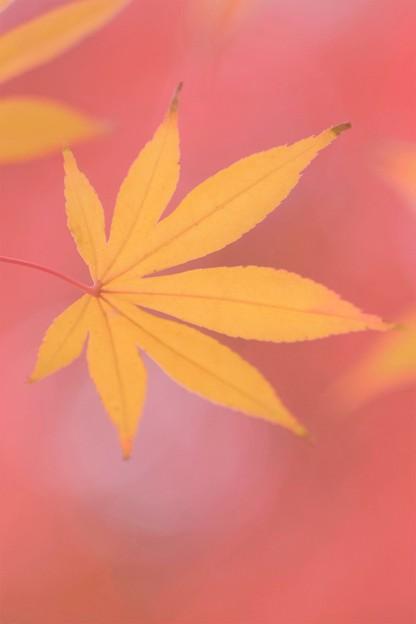Photos: 黄色いモミジと紅葉