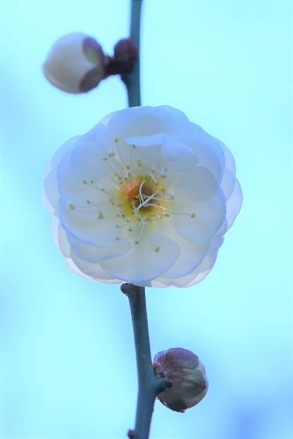Photos: 咲き始めました。