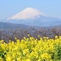 Photos: 富士山と菜の花