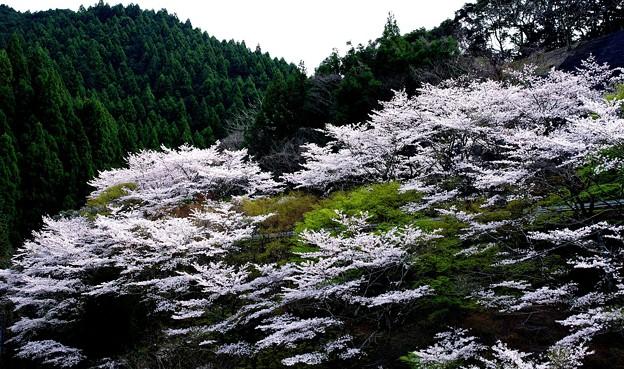 安濃ダム湖の桜