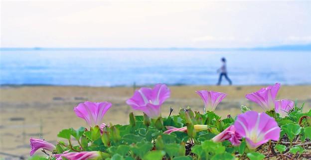 初夏の訪れ・浜昼顔