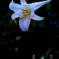 Photos: 白百合の詩