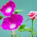バラと朝顔のコラボ