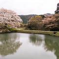 ジラカンス桜