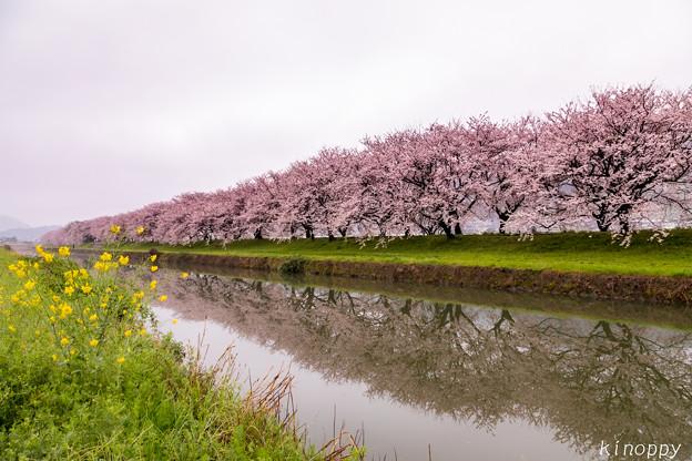 流川の桜並木