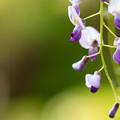 藤山神社  藤の花 3