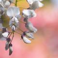 藤山神社  藤の花 4