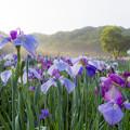 神楽女湖の花菖蒲 8