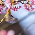 白野江植物公園 河津桜とメジロ 2 飛びながら・・・。