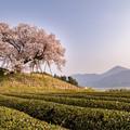 納戸料の百年桜 2