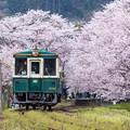 松浦鉄道 桜