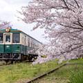 松浦鉄道 桜 2