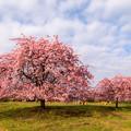 静豊園 河津桜