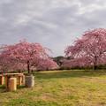 静豊園 河津桜 2