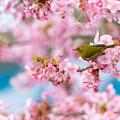 静豊園 河津桜とメジロ 2
