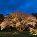 松国大山桜 ライトアップ