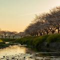 草場川 桜 夕景