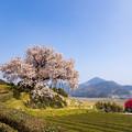 納戸科の百年桜