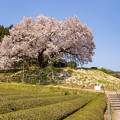 納戸科の百年桜 2
