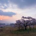 南阿蘇村 観音桜