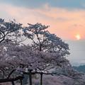南阿蘇村 観音桜 3