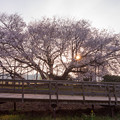 一心行の大桜 2