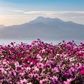 白木峰高原 コスモス 8