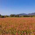 Photos: 吉野ヶ里歴史公園 赤蕎麦