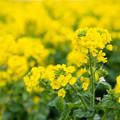 福ふくの里 菜の花 2