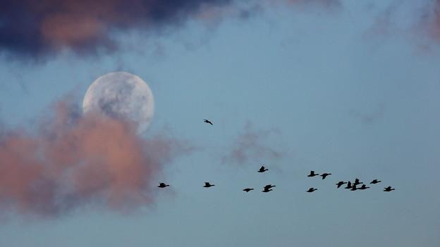 Photos: 月と雁