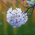 写真: ぼんぼん桜